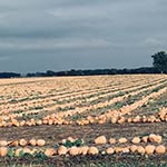 Pumpkin Harvest by Kathy Look