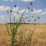 Finalist: Thistle in Wheat by Larry Nichols