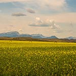 Finalist: Canola on the Rocky Mountain Front by Patrick Greany